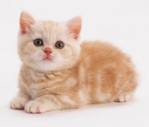 Ginger kitten with tabby markings, thick fluffy fur, lying down, looking straight at camera, pink nose with white whiskers, front paws placed neatly together, angled front view.