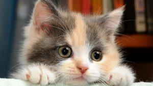 100 Gambar dp bbm kucing lucu dan gemesin 31