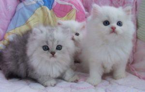 100 Gambar dp bbm kucing lucu dan gemesin 9